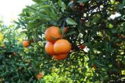 Orangen an der Algarve